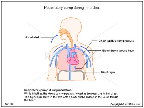 inhalation diagram respiratory during inhalation illustrations