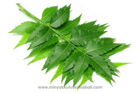 Minyak Kutus Kutus Untuk Kutu Rambut manfaat daun intaran neem dalam minyak kutus kutus