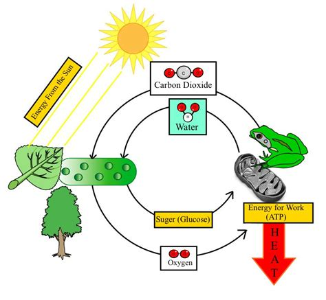 cell energy photosynthesis and respiration section 6 1 answers photosynthesis