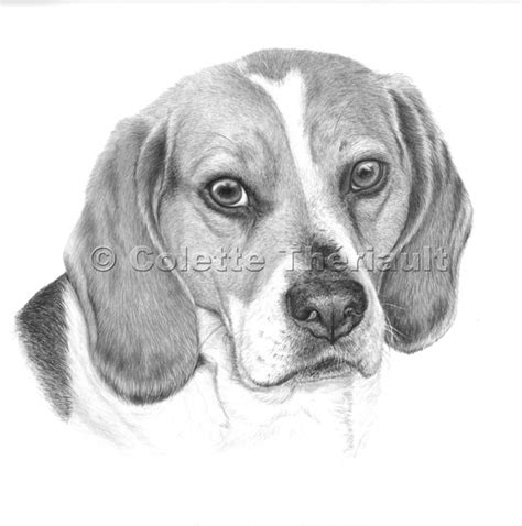 drawings of dogs beagle drawing pet portraits painting custom graphite pencil pet portraits pet
