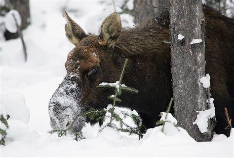 photo moose snow wildlife nature  image  pixabay