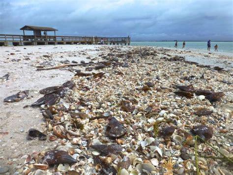 best beaches for seashells buckets of seashells on sanibel from tropical debby