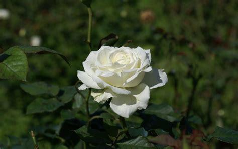 imagen de una hermosa rosa blanca para whatsapp rosa blanca silvestre im 225 genes y fotos