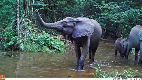 an forest elephant returns from the in gabon les 233 l 233 phants de nyoni 233 au gabon 2016 the forest elephant loxodonta cyclotis