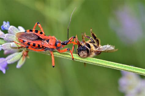 dounload bug xl assassin bug eating a bee royalty free stock photo image