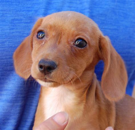spca puppies dachshund adoption breeds picture