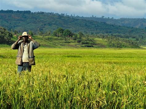 bittersweet brexit the future of food farming land and labour books file rice farm burundi 1 jpg wikimedia commons