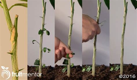 t budding fruit trees grafting orange trees how to graft a tree by t budding