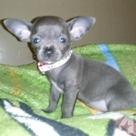 blue applehead chihuahua puppies for sale blue apple chihuahua breeds picture
