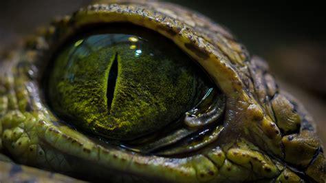 imagenes ojos de reptiles crocodile new photos