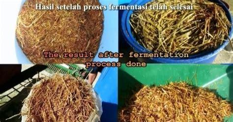 Jual Starbio Plus Di Medan cara fermentasi jerami padi dengan tetes tebu