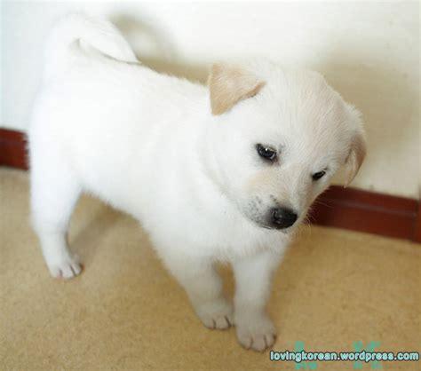 korean jindo puppies korean jindo loving korean boyfriend in korea
