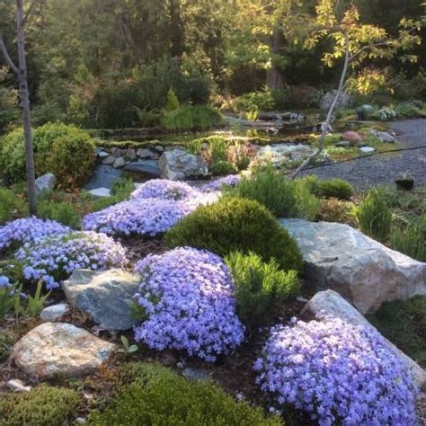creeping dwarf gardenia 3 gallon shrub groundcover 25 best ideas about creeping phlox on pinterest phlox