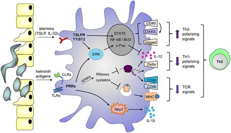 frontiers dendritic cells in the frontiers priming dendritic cells for th2 polarization