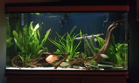 aquascape and new fish in the cichlid tank new world cichlid tank tropical fish site