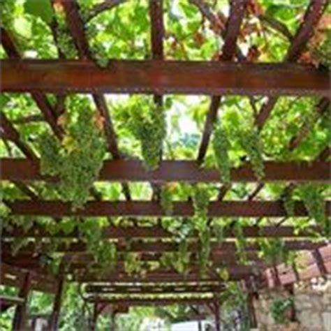 potatura vite da tavola potare le viti giovani tecniche di giardinaggio