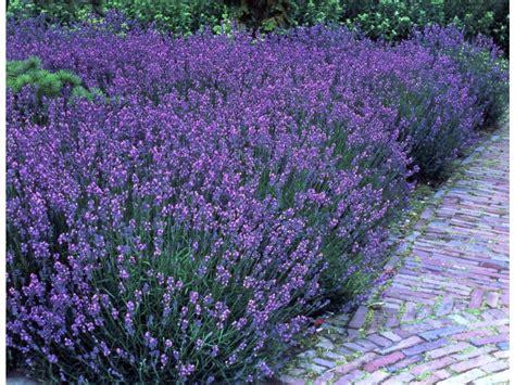 stauden pflanzen lavendel 5 stauden lidl deutschland lidl de
