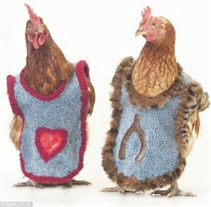 Chilly Chickens Strut Their Stuff In Made To Measure Jackets To Keep Warm After Being Rescued