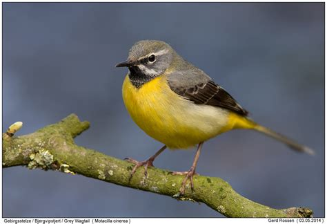 Gebirgsstelze Grey Wagtail Motacilla Cinerea Living » Home Design 2017