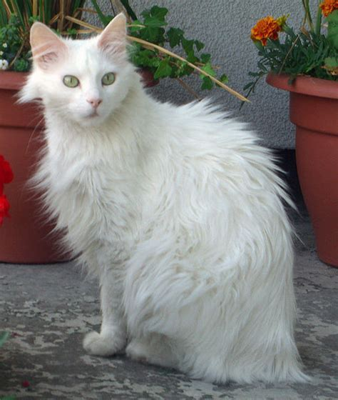 Types Of Haired Cats by Cat Breed Photos Cats Types