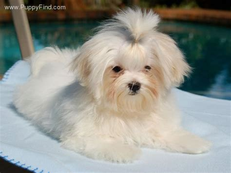 maltese teddy bear cut maltese teddybear cut maltese dogs forum spoiled