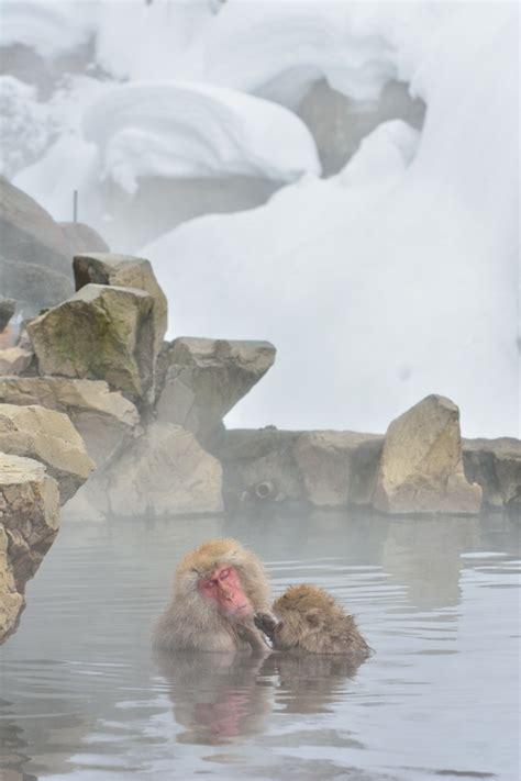 acqua calda per andare in bagno dove andare per osservare le scimmie delle nevi