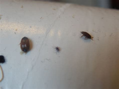 Carpet Beetle Vs Bed Bug by Carpet Beetle Bites