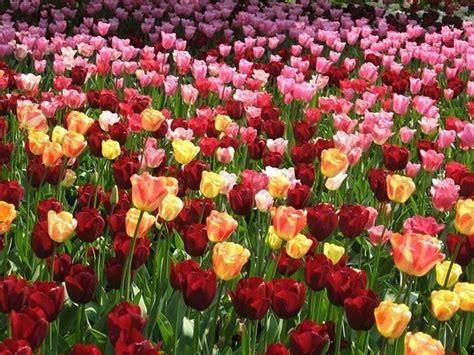 come piantare i tulipani in vaso piantare i tulipani bulbi come piantare i tulipani