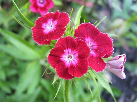 carnation flower carnation flower part 2 weneedfun