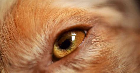 puppy eye infection eye infection treatment and causes a guide