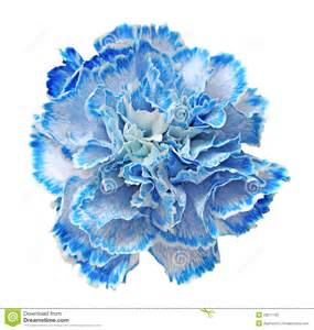 blue carnation royalty free stock photo image 29511165