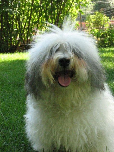 havanese grown havanese dogs grown www imgkid the image kid has it