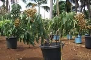 Kelengkeng Ping Pong dunia perkebunan buah kelengkeng pingpong