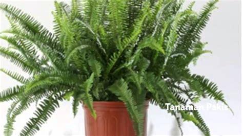 tanaman hias  rumah sebagai pembersih udara ruangan