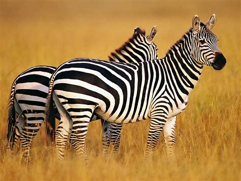 google images zebra most cute and dashing zebra wallpapers in hd wallpapers
