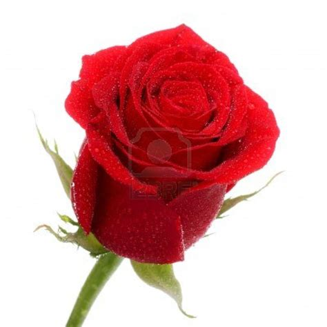 free wallpaper red rose red roses hd wallpapers free download