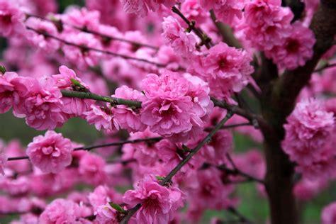 prunus flowering peach pink duchess perth wa