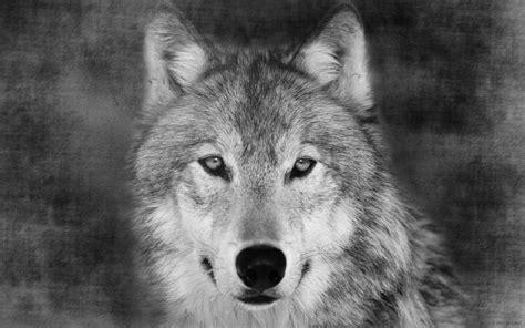 black and white wolf 17 desktop wallpaper 手绘素描灰狼动物高清壁纸 主题酷魅