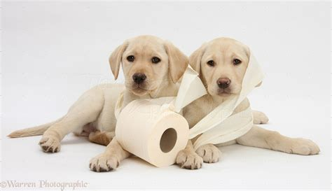 how to potty a lab puppy potty your labrador retriever the how to guide to potty your