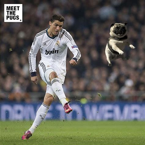 soccer pugs 17 best images about just pug it on mario gomez wayne rooney and pug