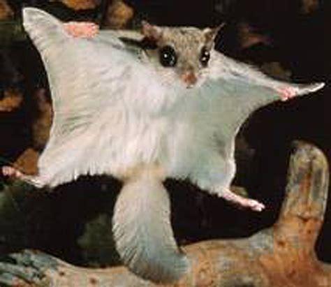 flying squirrels