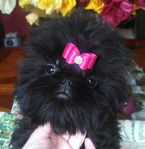 solid black shih tzu puppies for sale buy show quality shih tzu puppy shih tzu puppies for sale