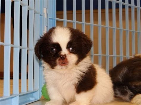 shih tzu puppies for sale in ms shih tzu breed funnydog tv