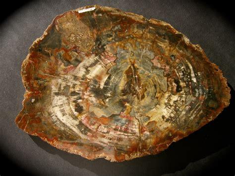 petrified wood 1000 images about petrified wood stones on