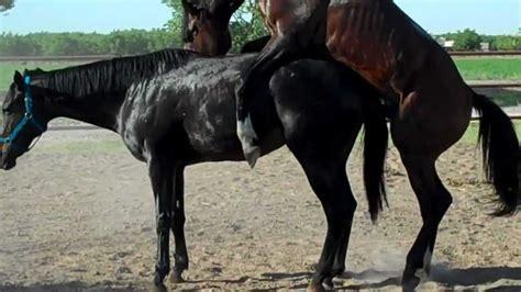 breeding horses mares stallion breeding horses mares stallion horse breeding horse mating