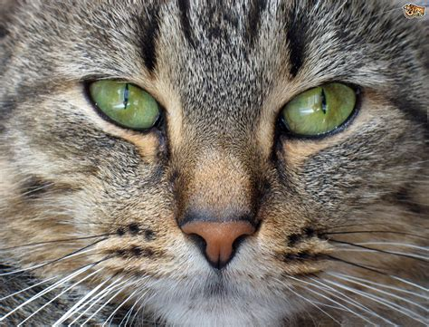 a cat for interesting facts about a cat s nose pets4homes
