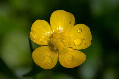 crowfoot buttercup buttercups ranunculus plant care