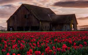 Old Barn Wallpaper Old Barn In Tulip Field Full Hd Wallpaper And Background