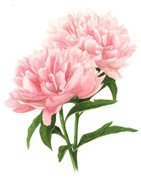 pink peonies blog double pink peonies amanda farquharson