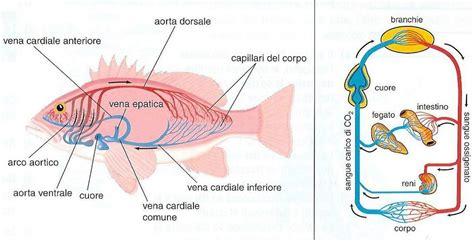 apparato genitale femminile interno 11 1 sistemi di trasporto interno nel regno animale